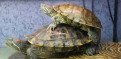 Черепахи красноухие отдам, Новая Ладога