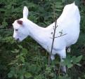 Зааненские козлята 6 месяцев