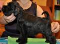 Щенок цвергштауцера- девочка - цвет черный