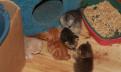 Британские котятки 10. 06.2018, Выборг