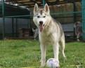 Siberian husky - гектор - Очень добрый серый волк