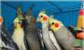 Птенцы попугая Кореллы для Вас. Большой выбор