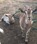 Продаются козы, Лодейное Поле