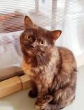 Кошечка британских кровей ищет дом