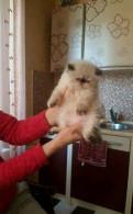 Гималайские персы. котятам 1месяц. родители клубные, Выборг