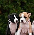 Высокопородные щенки амстаффтерьера