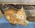 Рыжий котёнок 4 месяца, Сертолово