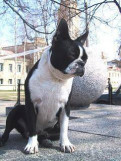 Бостон терьер - щенки, Санкт-Петербург
