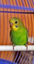 Волнистые попугаи пара отдам