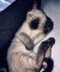 Продам Сиамского Котёнка