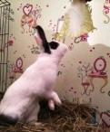 Декоративный Голландский кролик