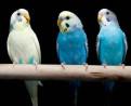 Волнистый попугай птенцы, Бокситогорск