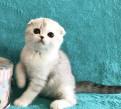 Котик серебристая шиншилла, Токсово