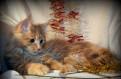Мейн-Кун крупные породистые котята - 3 месяца