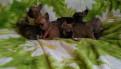 Французский бульдог щенки, Санкт-Петербург