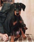 Немецкий пинчер, щенки (питомник)