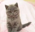 Котенок шотландский (девочка), Старая