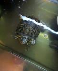 Черепаха красноухая + террариум, Санкт-Петербург