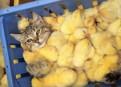Суточные цыплята, перепелиные, куриные субпродукты, Санкт-Петербург