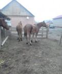 Продаю лошади, Первомайское