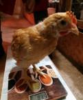Цыплята мини мясные, Гостилицы