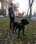 Собака Кане-корсо, Санкт-Петербург