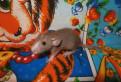 Крысята дамбо - самые лучшие друзья, клетки, Тосно