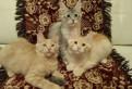 Замечательные котятки Мейн-кун
