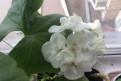 Герань махровая. белая, малиновая, розовая, красная