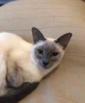 Тайская кошка, Горбунки