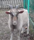 Продаю племенных козликов и козочку, Зеленогорск