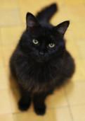 Шикарный ухоженный брюнет. котик Тунис, 1 год