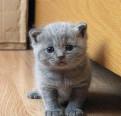 Британские котята, Вырица