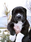 Черно белые щенки алабая