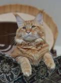 Вязка с котом мейн кун, Отрадное