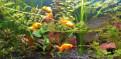 Золотые рыбки, Аннино