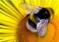 Пчелопакеты Карника, Любань