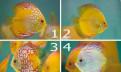 Дискус-Король аквариума. Доставка по РФ