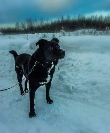 Метис, красавец пес Джони Уокер ищет дом