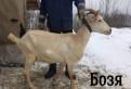 Козы, молочное стадо