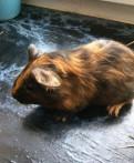 Морская свинка, Толмачево