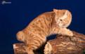 Курильская кошка стерилизованная
