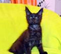 Мейн кун крупный черный, дымный котик Воланд