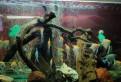 Скалярии. и др. рыба местного разведения