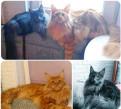 Мейн-кун котята, Кузьмоловский