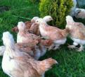 Цыплята порода, Каменка