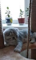 Шотландские котята, Кронштадт