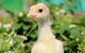 Индюшата и цыплята бройлеры Кобб 500, Сосновый Бор