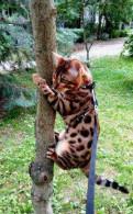 Кот на вязку. порода Бенгальская