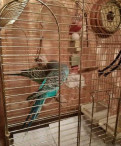Семейная пара волнистых попугаев с клеткой, Синявино
